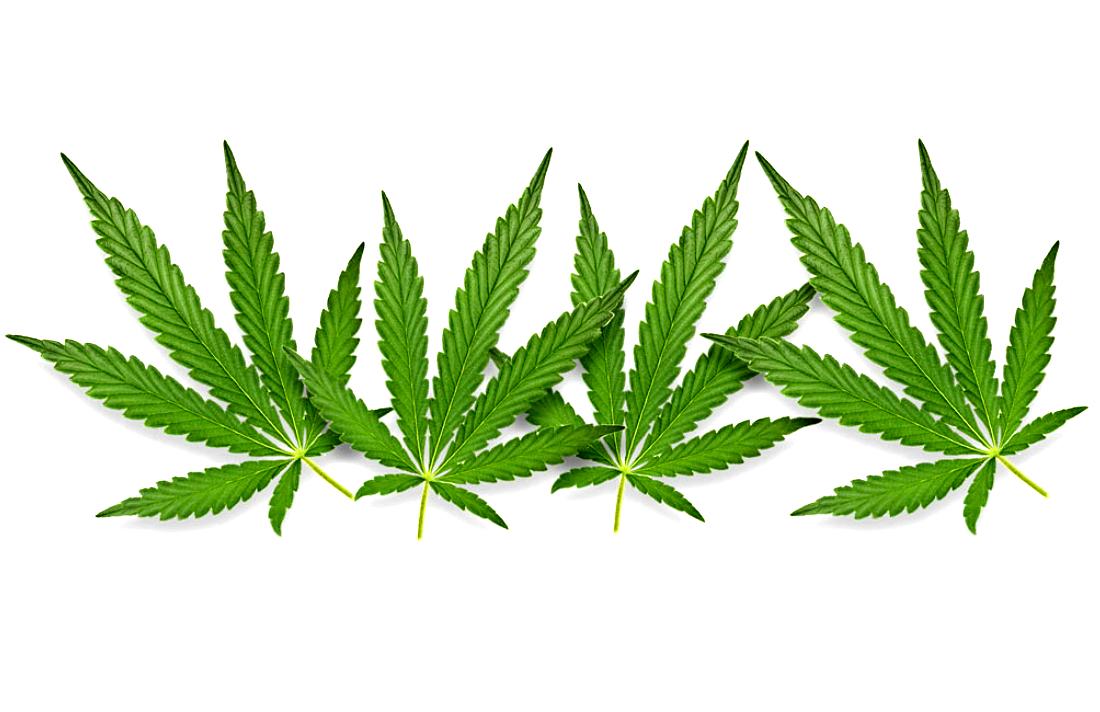 Конопля влияет ли на печень листья конопли помогают